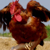 il Gallo Ruspante